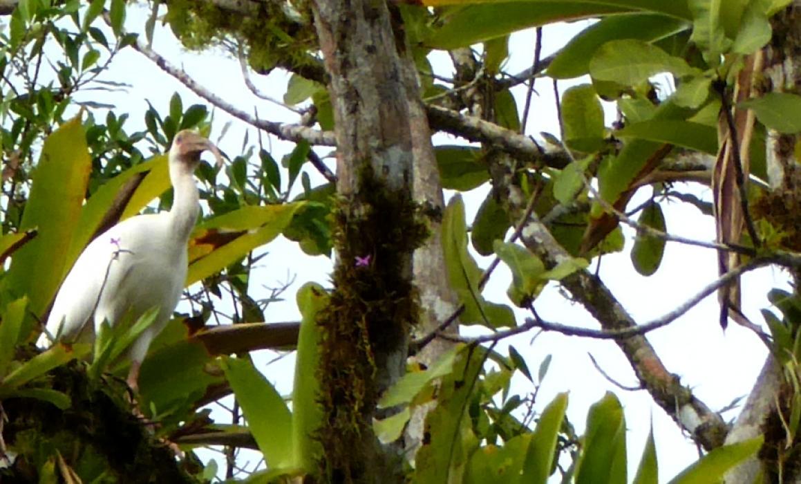 P1040570sierpe ibis
