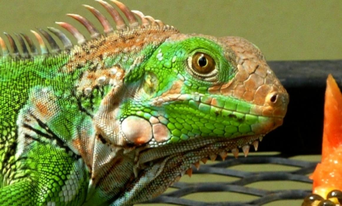 Lost Iguana in garden one day