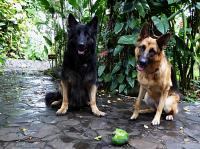 Bandito & Ziva with mango loot from the Toucan Casita