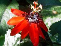 passion-flower-pura-vida